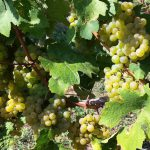 riesling_leicht_16_1080